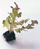 Eichblattsalatpflänzchen mit Erde