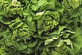 Close Up of Butterhead Lettuce