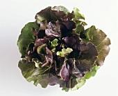Red batavia lettuce