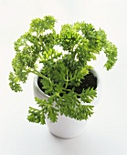 Curly parsley in a white flower pot