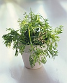 Coriander with flowers in a white flower pot
