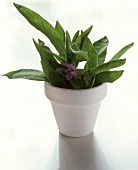 Sage with flowers in white flowerpot