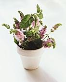 Flowering mint in white flowerpot