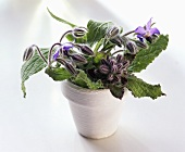 Flowering borage in white pot