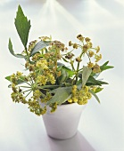 Lovage with flowers in white flower pot