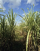 Field of sugar cane in Jamaica