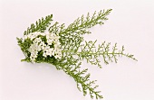 Yarrow, leaves and flowers (Achillea millefolium)