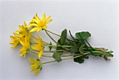 A posy of lesser celandines