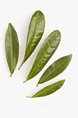 Pimento leaves (Pimenta dioica)
