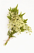 Bunch of hemlock (Conium maculatum, medicinal & poisonous plant)