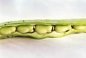 Saubohnen in geöffneter Bohnenschote (dicke Bohne)