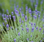 A Field of Lavender
