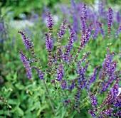 Blühender Salbei im Garten