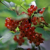 Redcurrants on the bush (outdoors)