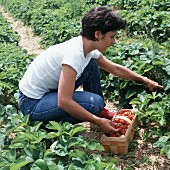 Woman picking strawberries into a trug in a strawberry field