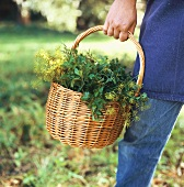 Person carrying basket of fresh herbs (close-up)