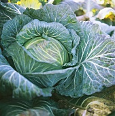 Ismaninger Kraut - cabbage variety from Isamanig, Bavaria