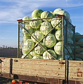 White cabbages in crates on the loading area of a lorry