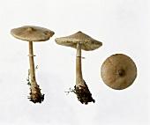 Parasol mushrooms (Macrolepiota mastoidea)