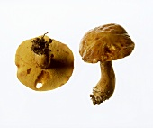 Larch boletus, from the side and from below