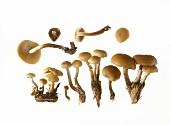A few velvet foot mushrooms (winter mushroom)