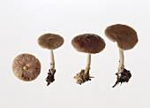 Deer mushrooms (Pluteus atricapillus)