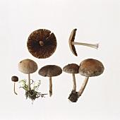Early mushrooms (Psathyrella spadiceogrisea)