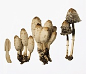 A few Shaggy Ink Caps (Coprinus comatus)