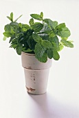 Fresh Mint Growing in a Ceramic Pot