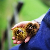 Hand holding two unshelled sweet chestnuts