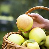 Hand taking a Golden Delicious apple out of a basket