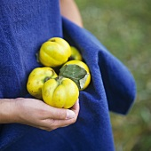 Freshly picked quinces held in an apron