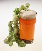 Englisches 'Lager'-Bier im Glas, dekoriert mit Hopfendolden