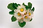 A few daisies (Bellis perennis)