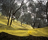 Yellow nets under olive trees for the olive harvest