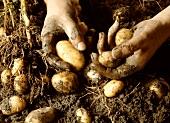 Hands holding freshly dug potatoes above soil