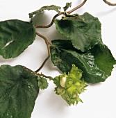 Mehrere unreife Haselnüsse am Zweig