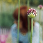 Flowers of giant onion (Allium giganteum) in garden