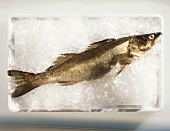 A pike-perch on ice