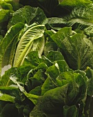 Romaine lettuce (close-up)