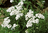 Flowering yarrow in the meadow (Achillea millefolium)