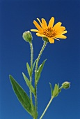 Flowering arnica (Arnica montana) against blue background