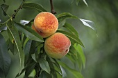 Ripe Peaches in Tree