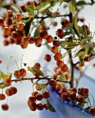 Buckthorn Berries on a Bush