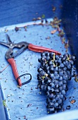 Red wine vintage: grapes in blue container beside scissors