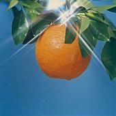 Orange am Zweig, Hintergrund: blauer Himmel