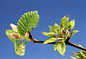A branch of elm (Ulmus procera) with blossom and leaves