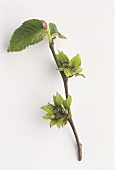 Elm branch (Ulmus procera) with blossom & leaves