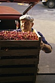 Cherries being loaded into crates