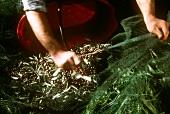 Olivenernte in Ligurien: Arbeiter sammelt Oliven aus dem Netz